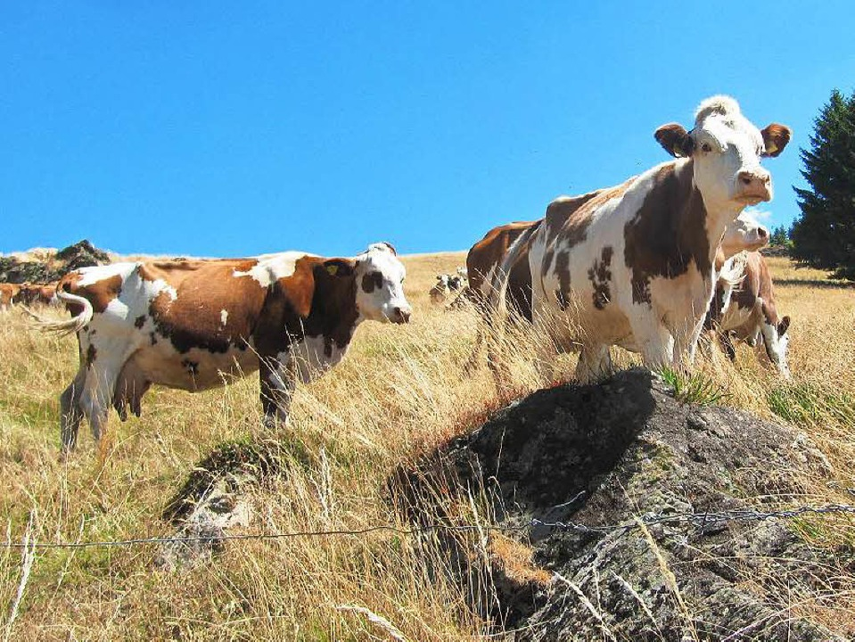 Mutterkühe leben mit ihren Kälbern in Herden auf der Weide.  | Foto: Susanne Filz