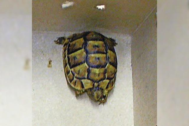 Seltene Schildkröten im Schuhkarton
