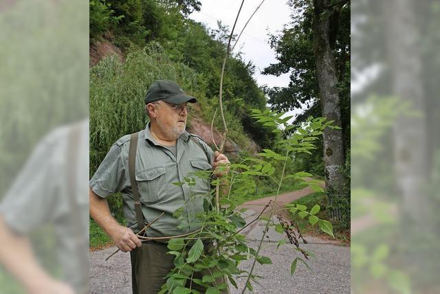 Forst muss die Axt an kranke Eschen legen
