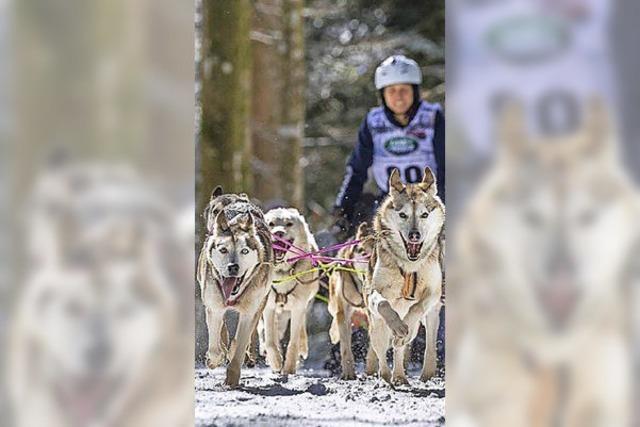 Im Januar rennen wieder Schlittenhunde