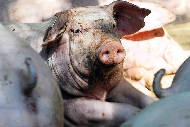 So wurde ein Ichenheimer Schweinezuchtbetrieb auf Öko umgestellt