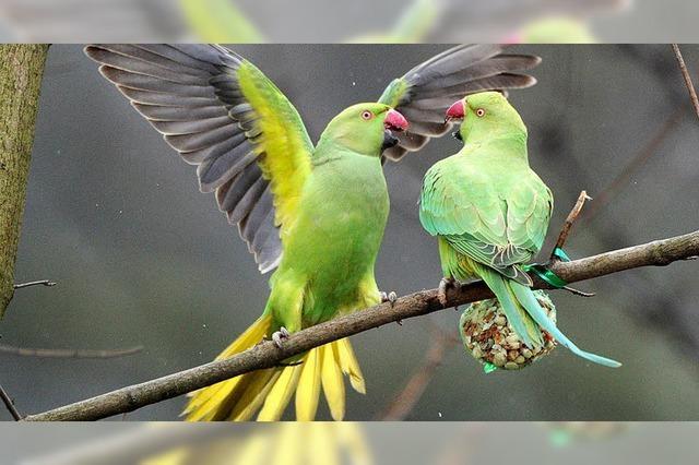 In den Parks von Brüssel leben tausende Papageien