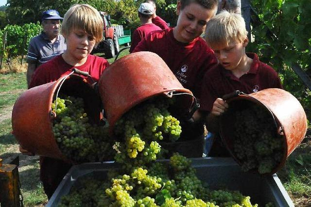 In der Ortenau hat die Weinlese begonnen – mit reichlich Öchsle