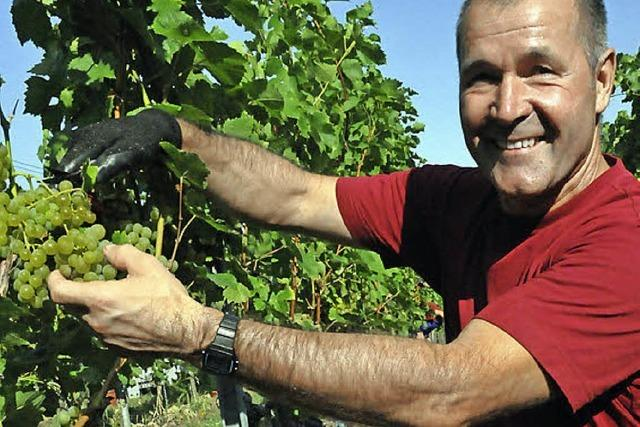 Winzer starten die Weinlese