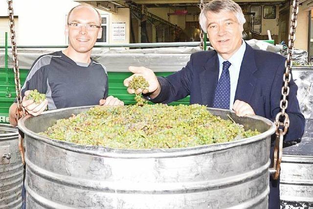 Winzer erwarten einen super Weinjahrgang