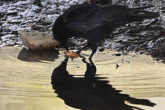 Krähenjagd im Markgräflerland: 101 Vögel abgeschossen