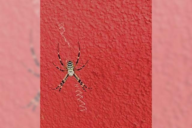 Eine Wespenspinne