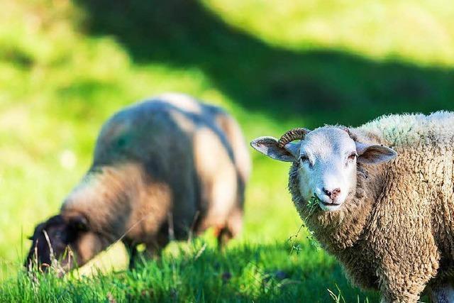 Anwohner befürchten Gestank von neuer Schafweide