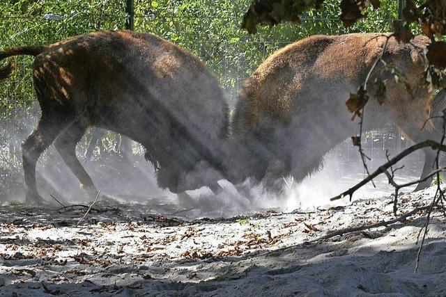 Tierpark Lange Erlen investiert sechs Millionen Franken in Betriebshof und Wisentanlage