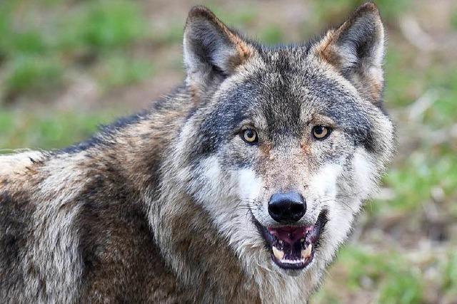 Tiefgefroren im Museum: Überfahrener Wolf kommt nach Karlsruhe