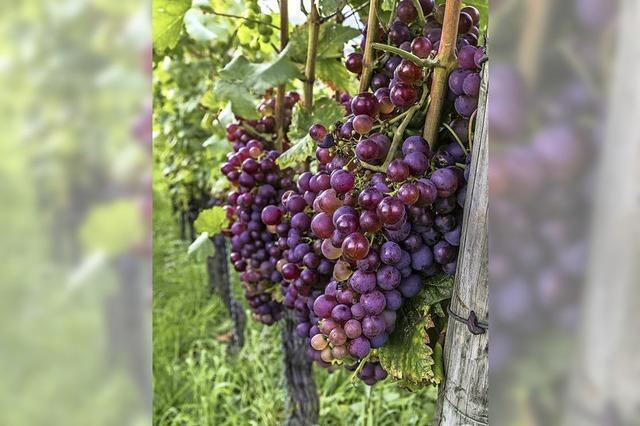 Weintrinkend wandern am Schönberg