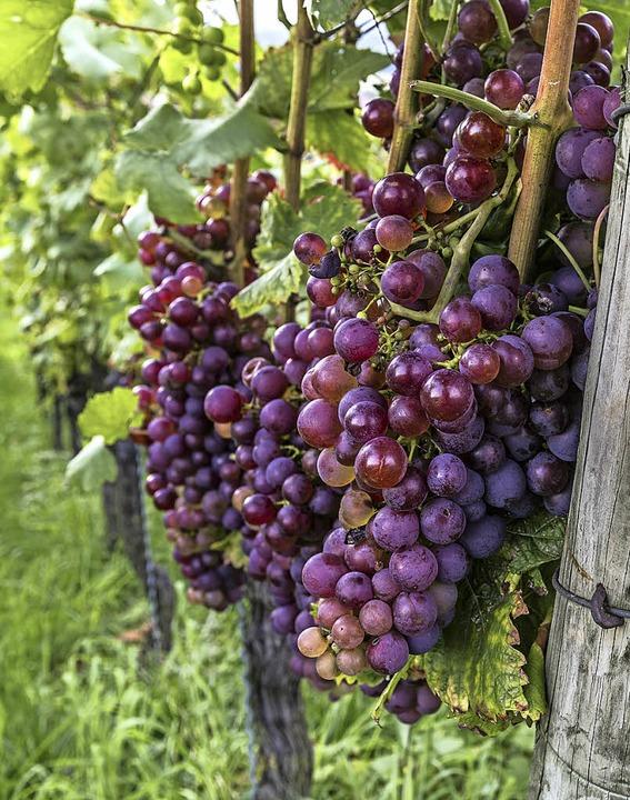 Saftige rote Weintrauben   | Foto: Michael Spiegelhalter