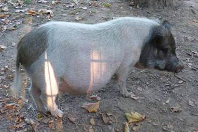Polizei fängt Hängebauchschwein in Betzenhausen ein