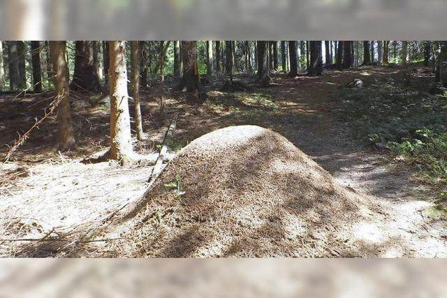 Der Waldameise gefällt's im Hotzenwald