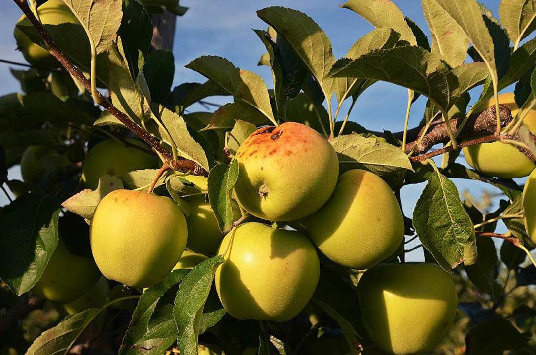 Sonnenbrand an Äpfeln der Sorte Delbaresivale.  | Foto: Gabriele Hennicke