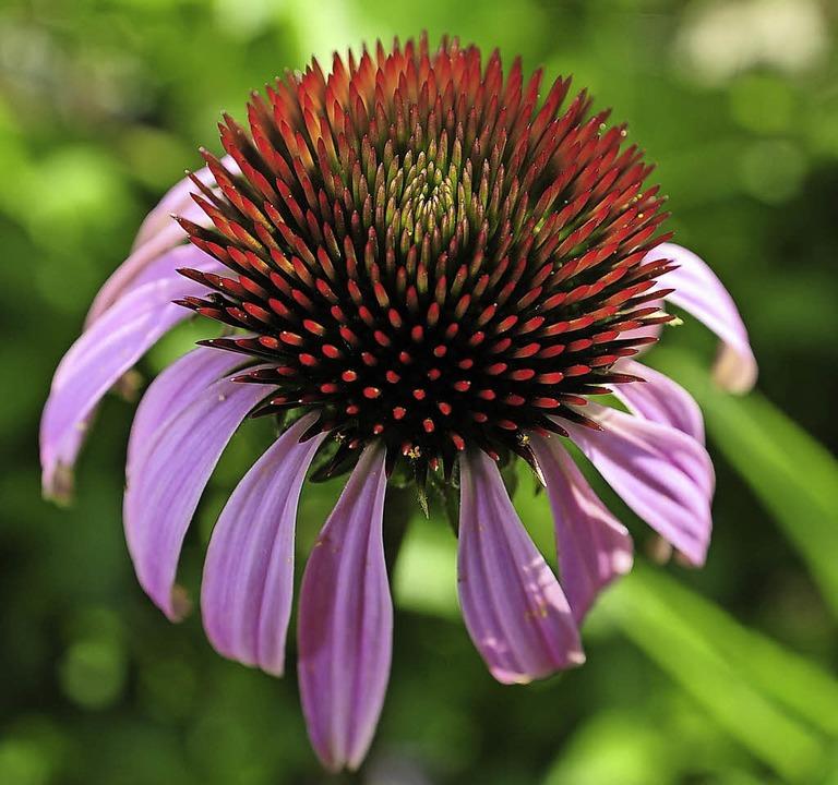 Auch mit Sonnenhut (Echinacea) kann man sein Immunsystem stärken.  | Foto: Kunz