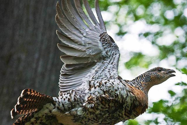 Charaktervogel des Schwarzwaldes