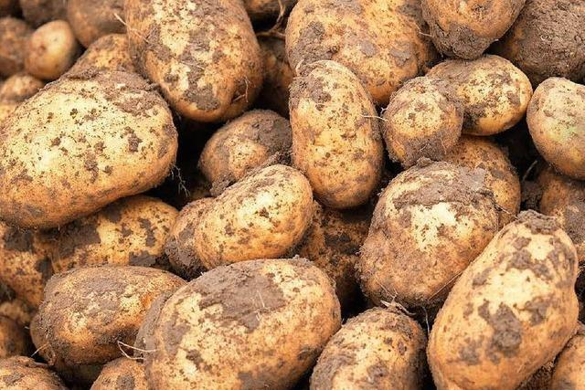 Drahtwürmer bedrohen Kartoffelernte