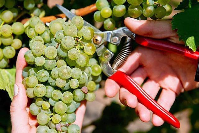 Winzer sind mit Weinlese zufrieden