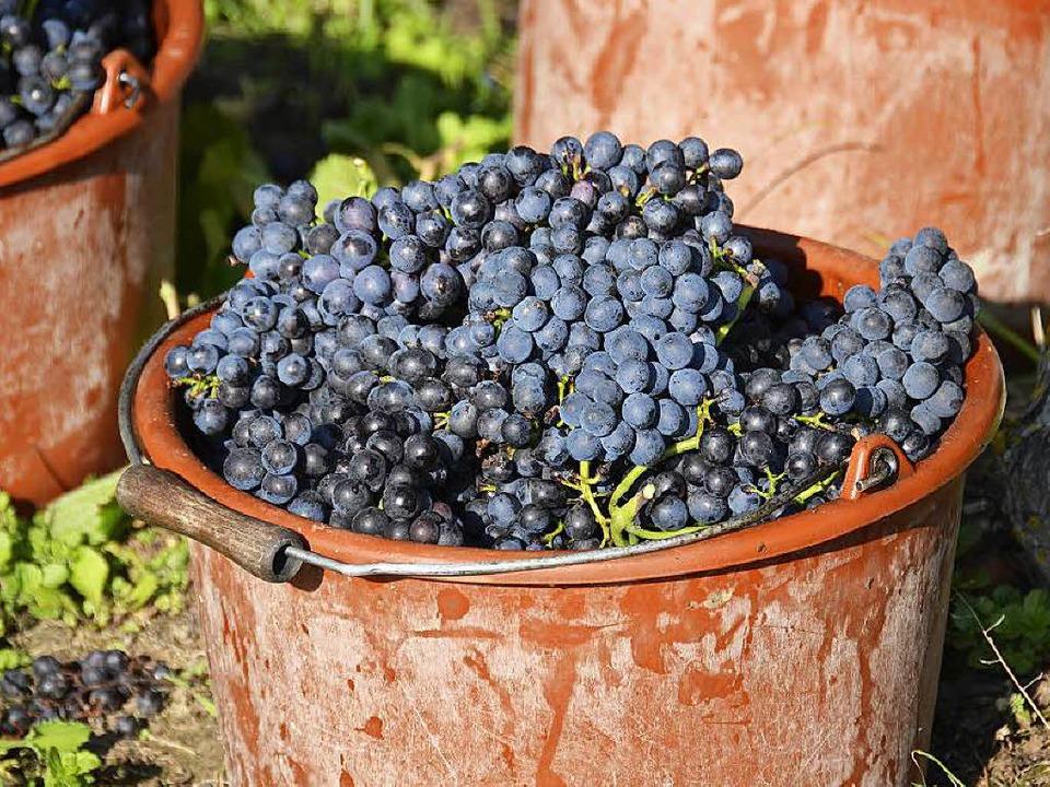 Weine aus den Spätburgunder-Trauben üb...und Körper als vielmehr durch Finesse.  | Foto: Felix Held
