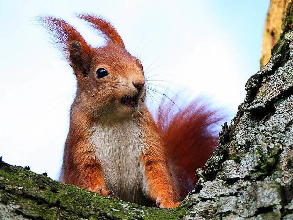 Eichhörnchen wollen keine Gesellschaft...auch wenn das manchmal Nachteile hat.   | Foto: dpa