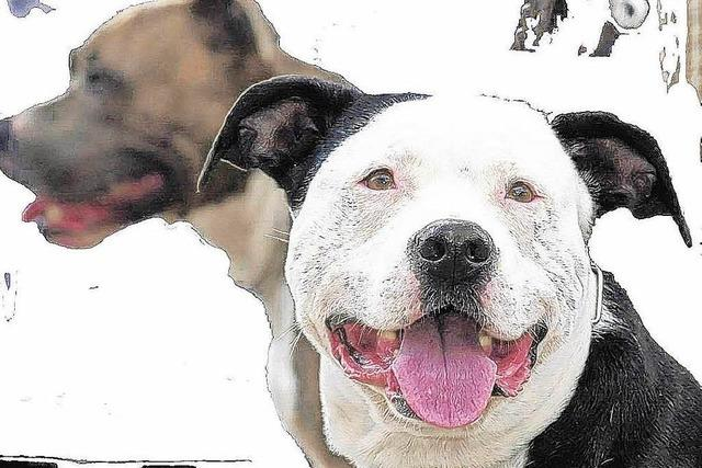 Gemeinderat beschließt siebenfache Steuer für Kampfhunde