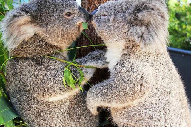 Koala-Plage: Tiere werden eingeschläfert