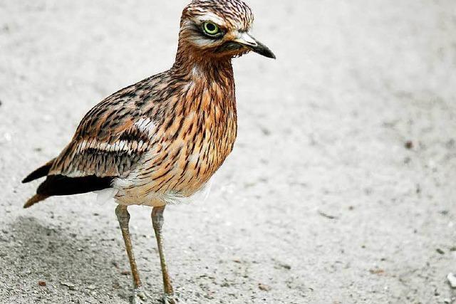 Vogelschutzgebiet Bremgarten wird für den Triel ausgeweitet