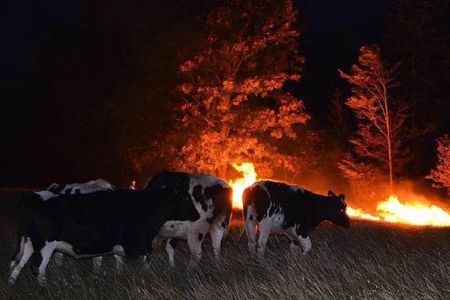 Kühe in Gefahr – Feuer greift auf Wald und Wiese über