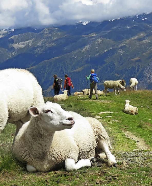Mäh! Schafe  – aber kein Murmeltier, nirgends   | Foto: Anselm Busshoff