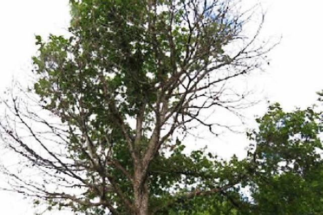 Unbekannter injiziert Gift in Eiche – Baum stirbt ab