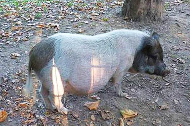 Hängebauchschwein stromert durch den Stühlinger