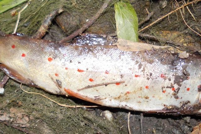 Hunderte Fische sterben im Neunaugenbach – versehentlich trockengelegt?