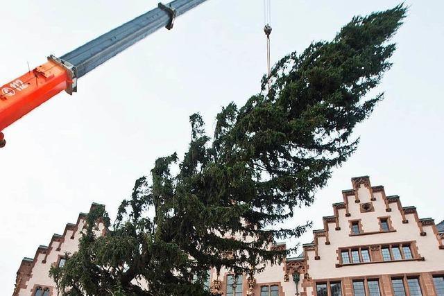 Basel spendiert Frankfurt riesigen Weihnachtsbaum aus Kirchzarten