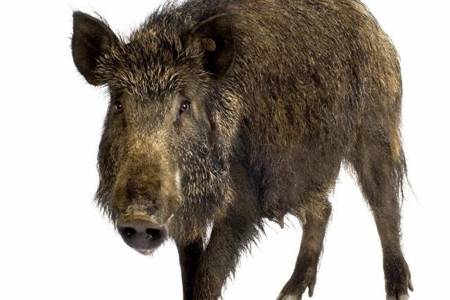 Jäger erschießt wildgewordenes Wildschwein in Sick-Parkhaus in Waldkirch