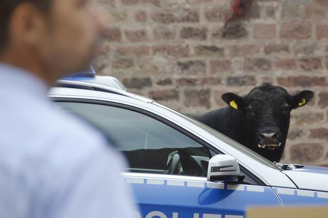 Bulle hält Polizei in Atem