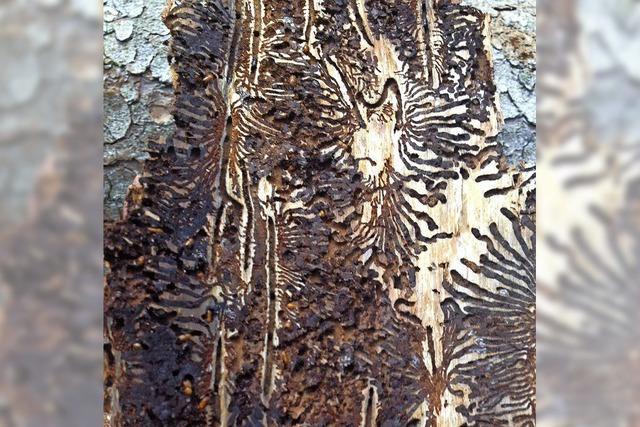 Borkenkäfer-Schäden halten sich in Grenzen