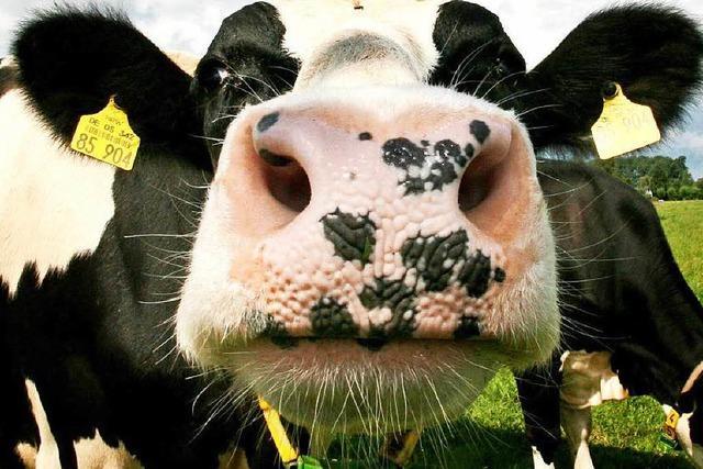 Kalb mit Traktor aus Kuh gezogen? Ein Fall für den Anwalt der Tiere