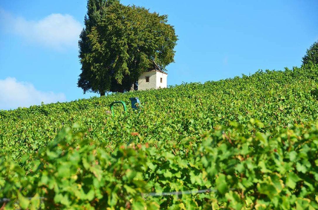 Der Weinbau prägt das Landschaftsbild des Markgräflerlandes  | Foto: Anna-Lena Kruijer