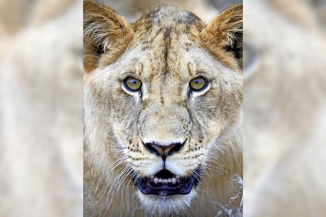 Zoo will eine Löwin vor Publikum sezieren