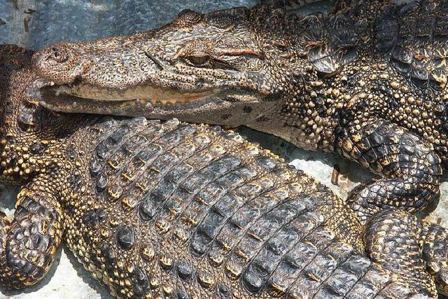 Dutzende Krokodile sind in Thailands Städten unterwegs