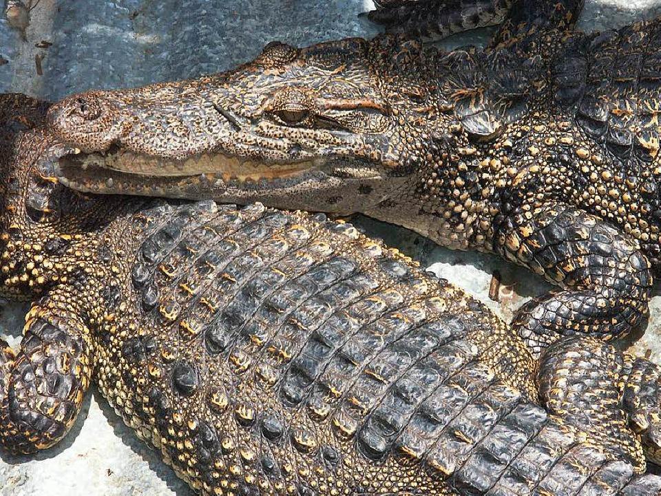 Dutzende Krokodile sind aus den Farmen...n. Die hier gezeigten sind noch drin.   | Foto: Colourbox