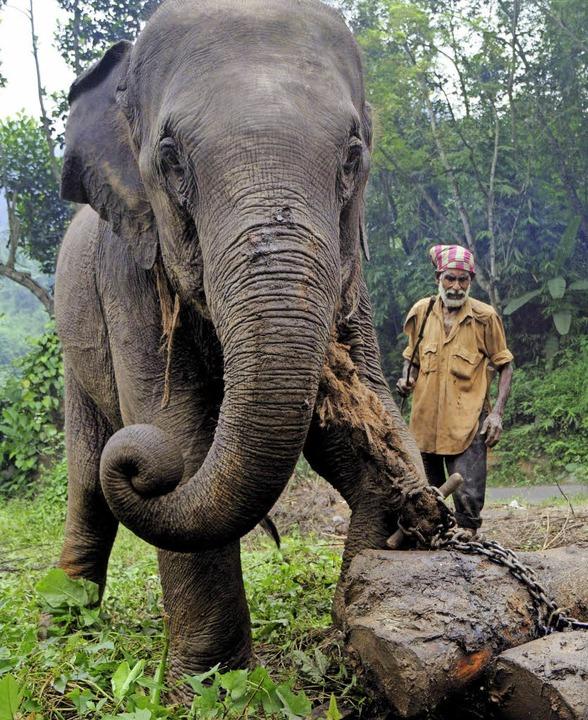 Ähnlich wie dieser Arbeitselefant in I...in Myanmar Baumstämme für Holzfäller.   | Foto: dpa