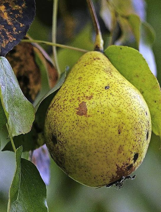 Gelb und saftig: die Birnenfrucht    Foto: Jens-Uwe Voss