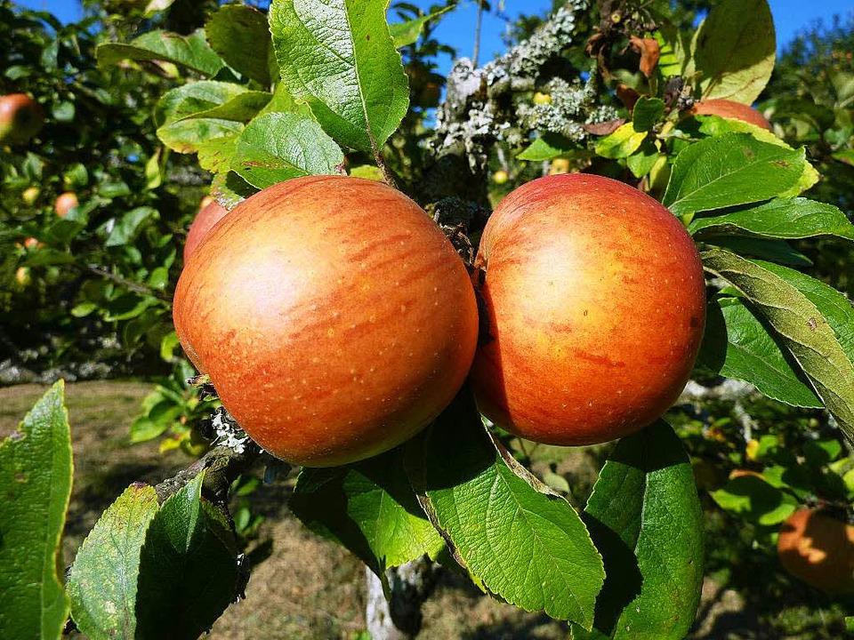 Rund 220 alte Apfelsorten wachsen alleine in Staufen.  | Foto: Gabriele Hennicke