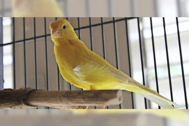 Auch Kanarienvögel brauchen Ruhe