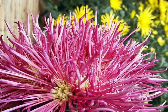 Fotos: Das zweite Chrysanthema-Wochenende in Lahr