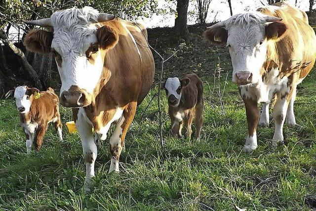 Nachwuchs bei Hinterwälder Rindern