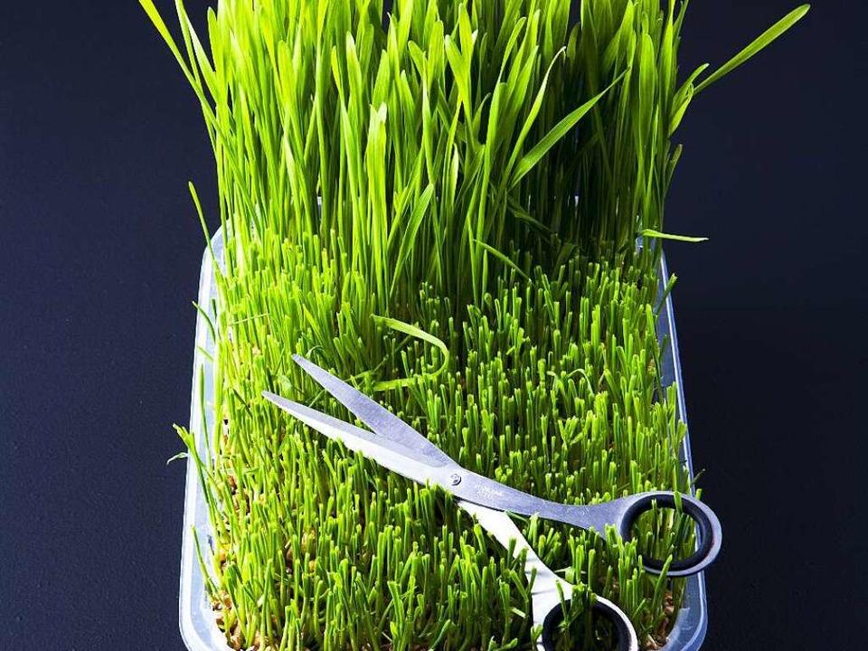 Enthält alle wichtigen Nährstoffe: Weizengras     | Foto: Michael Wissing