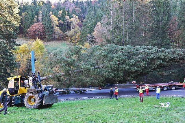 Oberrieder Wald: Rekordweihnachtsbaum für Frankfurt gefällt